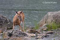 0623-1003  Northern (Woodland) White-tailed Deer, Odocoileus virginianus borealis  © David Kuhn/Dwight Kuhn Photography
