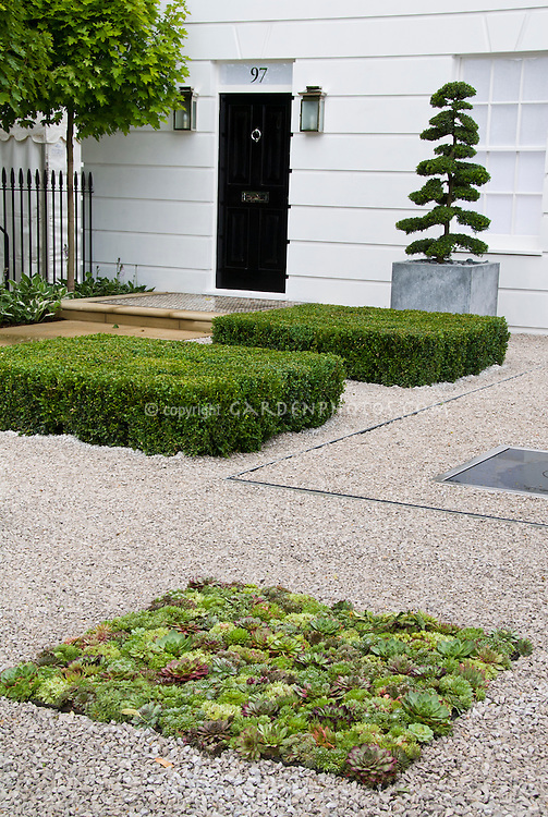 Sempervivum and sedum succulents in gravel as groundcover, making a rectangle garden in the front entrance to house, with Buxus boxwood, topiary evergreen tree in container pot