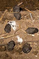 Gewölle einer Schleiereule, Schleier-Eule, Tyto alba, auf Stallboden, barn owl