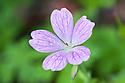 Geranium x oxonianum 'Rosenlight', early July.