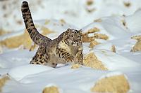 Snow Leopard (Panthera uncia) or (Uncia uncia).  Endangered Species.