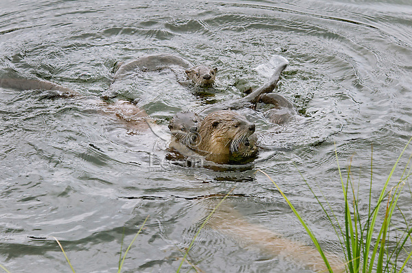 Northern River Otter (Lontra canadensis) mom playing with her three pups.  Western U.S., summer..