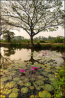 A water lily pond in the morning, Chiang Mai, Thailand.