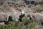 The first truckload of sheep arrive in the hills along the western edge of Carson City on Thursday, April 17, 2014 as part of a four-week grazing program to help reduce cheat grass and other fire fuels. (Las Vegas Review-Journal/Cathleen Allison)