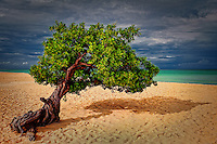 Divi-divi tree on the beach in Aruba.