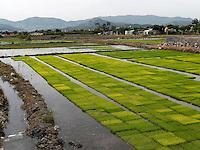 Reissetzlinge bei Gyeongju, Provinz Gyeongsangbuk-do, Südkorea, Asien<br /> rice saplings, Gyeongju,  province Gyeongsangbuk-do, South Korea, Asia