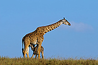 Masai Giraffe (Giraffa camelopardalis) mother nursing young calf (giraffes usually have only one calf).   East Africa.