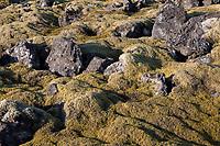Steinwüste, Felsen, Flechten und Moose, Moosheide, Moosheiden, Racomitrium-Heide, Racomitrium Moos, Rhacomitrium-Heide, Rhacomitrium Moos, Zackenmützenmoos, Zackenmützen-Moos, Vulkanlandschaft, Lavafeld, Lavafelder, Halbinsel Reykjanes, Reykjanes-Halbinsel, Reykjanesskagi, Island, Iceland