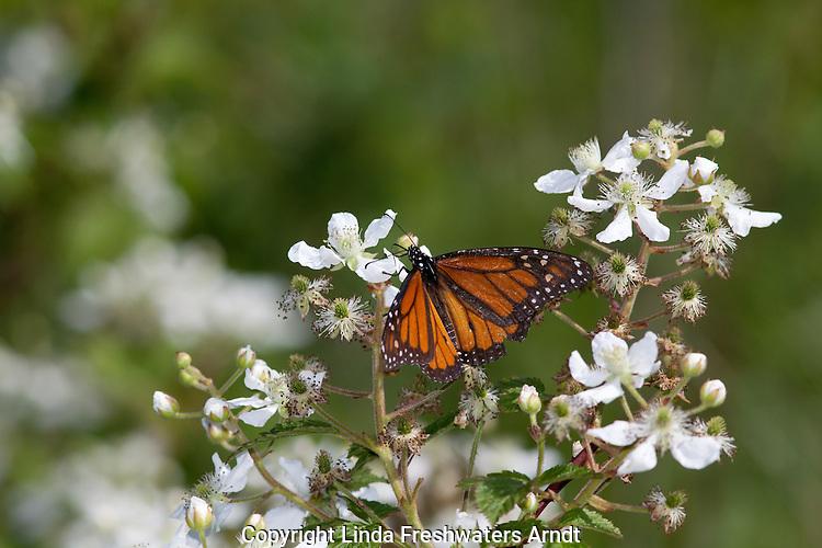 Monarch butterfly on blackberry