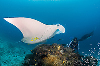 reef manta ray, Manta alfredi, and scuba diver, at cleaning station, Manta Sandy dive site, Raja Ampat, West Papua, Indonesia, Indo-Pacific Ocean