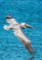 Brown Pelican<br /> Virgin Islands