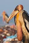 Adult Greater Adjutant at Boragaon Landfill. Assam, India.