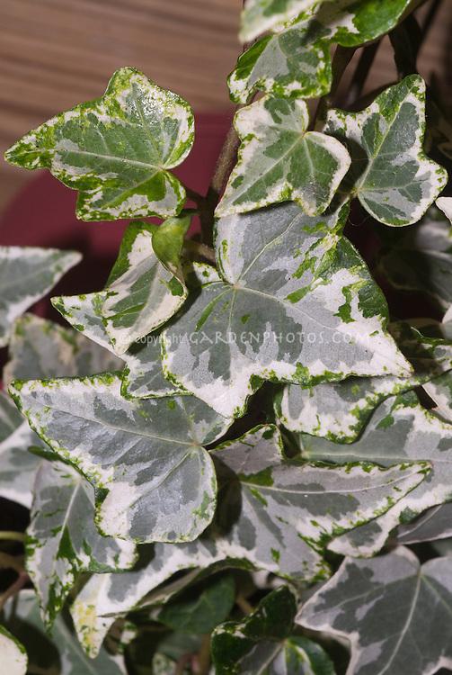 Hedera helix 'Ivy Mint Kolibri'