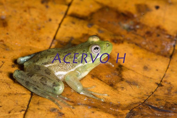 Espécie: Lysapsus laevis (Parker, 1935)<br /> Nome - inglês: Guyana Harlequin Frog<br /> .<br /> .<br /> Espécie de perereca comum em reios da Amazônia. Trata-se de uma espécie aquática, podendo ser observadas sobre a vegeração flutuante em rios, áreas alagáveis e poças temporárias. <br /> .<br /> Imagem feita em 2017 durante expedição científica para a região do Lago Tefé, Tefé, Amazonas, Brasil. A expedição, financiada pelo  Conselho Nacional de Desenvolvimento Científico e Tecnológico, teve o abjetivo de reencontrar espécies de anfíbios descritas pelo explorador Johann Baptist von Spix no ano de 1824.