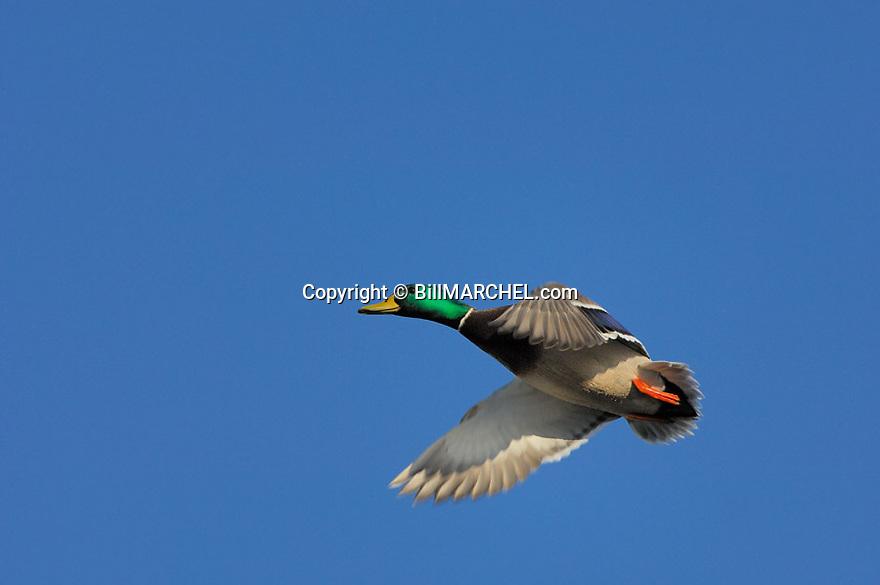 00330-071.07 Mallard Duck (DIGITAL) drake in flight against blue sky.  Action, waterfowl, fly, hunt, greenhead.  H4L1