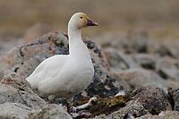 Adult female Snow Goose (Chen caerulescens) of the Eastern subspecies C. c. atlantica. Bathurst Island, Nunavut, Canada. June.