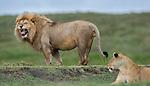 Male African Lion (Panthera leo) - sniffing / testing female receptivity - Flemen response. Near Ndutu, Nogorongoro Conservation Area / Serengeti National Park, Tanzania. March 2015