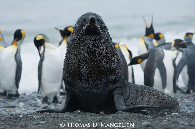 Antarctic fur seal portrait with king penguins in the background on Prion Island, South Georgia.