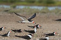 Black Skimmer (Rynchops niger), adult in flight with fish prey over colony, Port Isabel, Laguna Madre, South Padre Island, Texas, USA