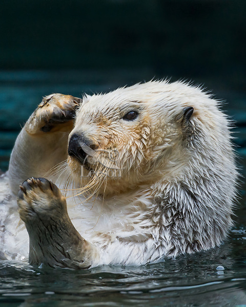 Sea Otter (Enhydra lutris) grooming.  Keeping their fur clean is important to maintaining their core body temperature while living in the cold ocean water.