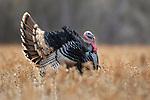 Rio Grande Turkey Tom in Full Strut