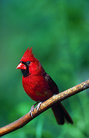 Northern Cardinal male.