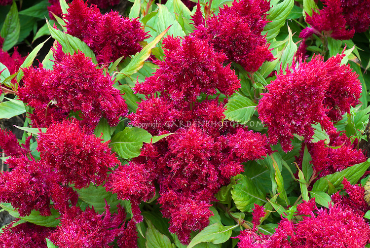 Celosia 'Fresh Look Red' - annual flowrs cockscomb