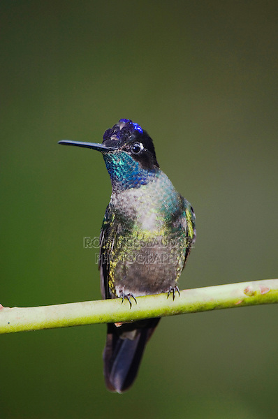 Magnificent Hummingbird, Eugenes fulgens, male perched, Central Valley, Costa Rica, Central America