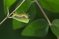 Blauschwarzer Eisvogel, Raupe frisst an Heckenkirsche, Limenitis reducta, Southern White Admiral, caterpillar, Le Sylvain azuré