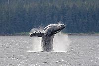 humpback whale, Megaptera novaeangliae, breaching, head-lunging, Chichagof Island, Alaska, USA, Pacific Ocean