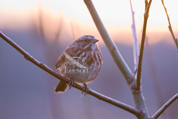 Song Sparrow (Melospiza melodia) perched against winter sunrise.  Pacific Northwest.