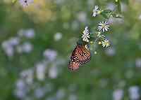Queen (Danaus gilippus), adult feeding on , Hill Country, Central Texas, USA
