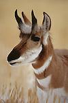 Pronghorn antelope, Idaho