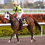 30 January 2010: Roman Tiger and jockey Carlos Marquez, Jr. after the Sunshine Millions Turf Stakes at Gulfstream Park in Hallandale Beach, FL.