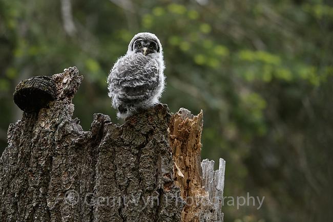 Great Gray Owl (Strix nebulosa) nestling. Jackson County, Oregon.