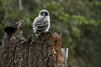 Great Gray Owl (Strix nebulosa) nestling. Jackson County, Oregon.