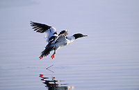 Common Merganser - drake. North America. .(Mergus merganser).