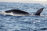 Fin Whale ( Balaenoptera physalus) lunge feeding on krill, pectoral fin waving in the air. Spitzbergen, Arctic Norway, North east Atlantic