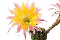 Fleurs de cactus [Cactus flowers]