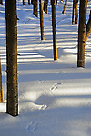 Meandering Tracks in the Snow in Winter Woods of New Hampshire