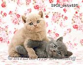 Xavier, ANIMALS, REALISTISCHE TIERE, ANIMALES REALISTICOS, cats, photos+++++,SPCHCATS820,#A#