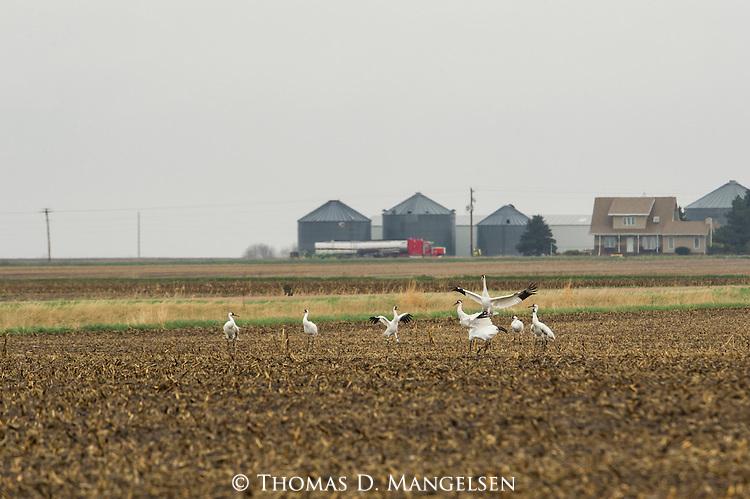 Whooping Cranes near the Platte River in Nebraska.