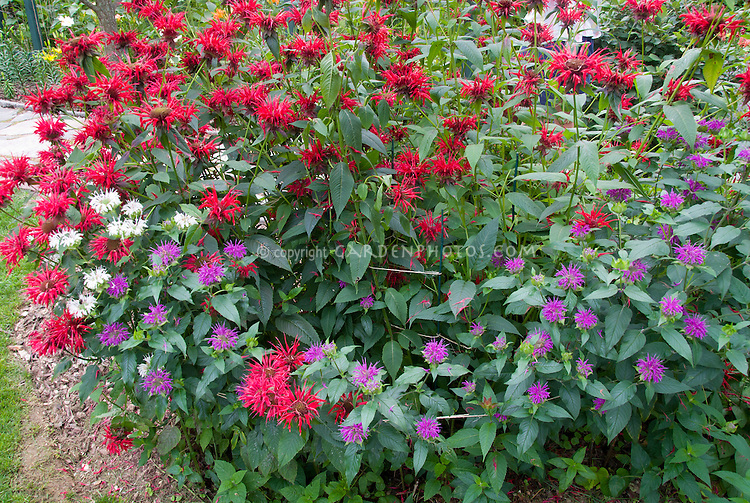 Monarda Beebalm in three colors, red, white, lavender in summer flowers mixed