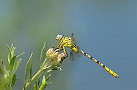 333920018 a wild teneral male brimstone clubtail stylurus intricatusperches on a plant stem near the drew road canal west of el centro imperial county california