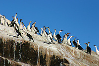 Flock of Black-faced Cormorants on the Hippolyte Rocks, Tasman Peninsula, Tasmania