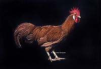 """In the photo the race  Leghorn, or Livorno tawny Chickens  male.<br /> <br /> The Leghorn Italian: Livorno or Livornese) is a breed of chicken originating in Tuscany, in central Italy. Birds were first exported to North America in 1828 from the Tuscan port city of Livorno, on the western coast of Italy. They were initially called """"Italians"""", but by 1865 the breed was known as """"Leghorn"""", the traditional anglicisation of """"Livorno"""". The breed was introduced to Britain from the United States in 1870.White Leghorns are commonly used as layer chickens in many countries of the world. Other Leghorn varieties are less common.<br /> Photo Roosters and Hens Ornamental breeds, Italian champion breeds August 2020."""
