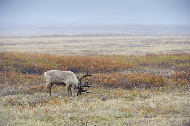 """Caribou of the """"Reindeer"""" Subspecies Rangifer tarandus tarandus feeding in spring . Seward Peninsula, Alaska. June."""
