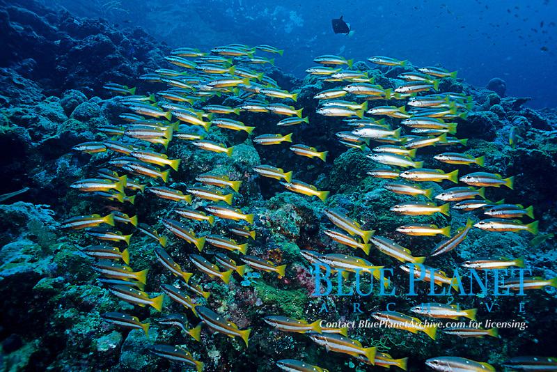 Two-spot banded snapper or Twospot snapper, Lutjanus biguttatu, Palau, Belau, Pacific Ocean
