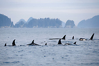 killer whale (orcas), Orcinus orca, large pod with one male approaching, in Kenai Fjords National Park, Chiswell Islands National Marine Sanctuary, southcentral Alaska, USA