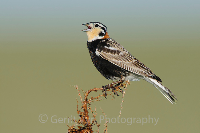 Adult male Chestnut-collared Longspur (Calcarius ornatus) singing. Alberta, Canada. June.